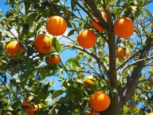 柑橘類、オレンジ